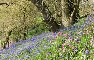 Bluebells at The Lovell Quinta Arboretum