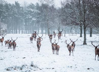 Deer at Tatton Park in Winter
