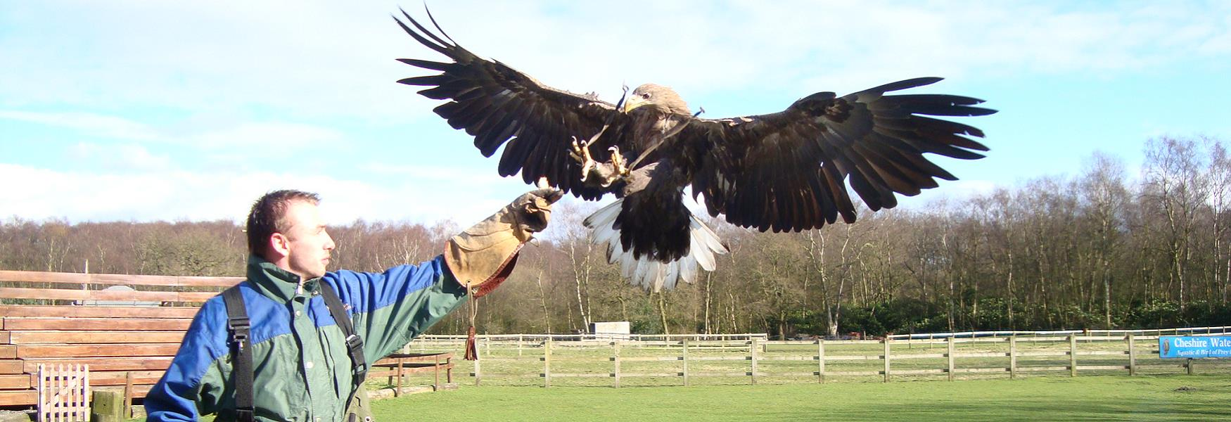 Falconry in Cheshire