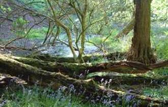 woodland scene with bluebells and trees