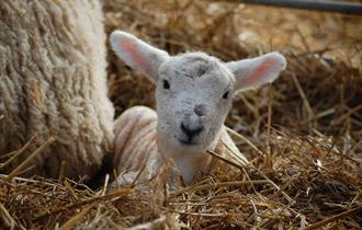 Live Lambing and Zoo Weekends