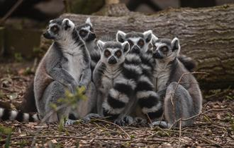 Family of Lemurs at Chester Zoo