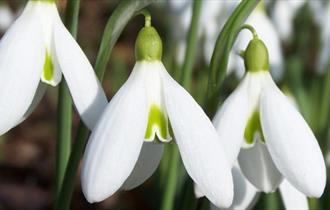 Snowdrop and Winter Walks