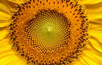 Plant a sunflower