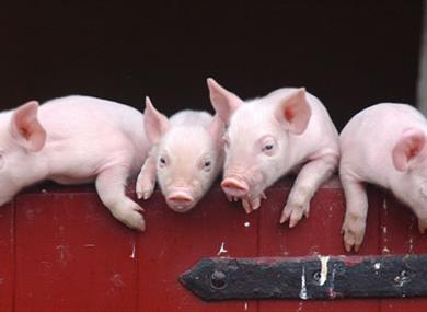piglets over stable door at home farm